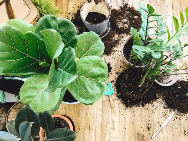 Ficus lyrata: cuidados - Cómo trasplantar un Ficus Lyrata