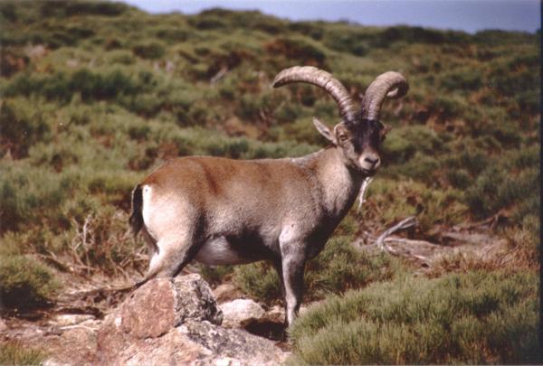 Animales extinguidos recientemente en España - Lista de animales extinguidos recientemente en España