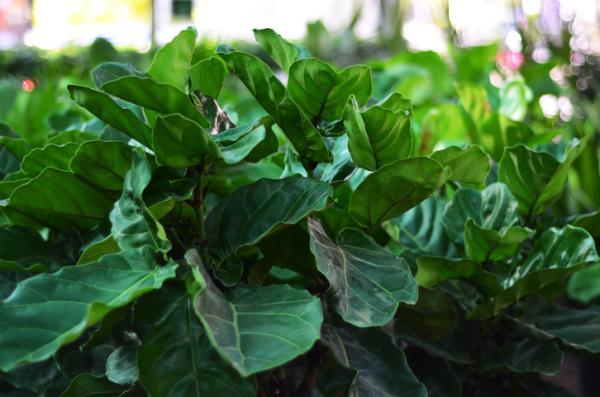 Ficus lyrata: cuidados - Luz y temperatura