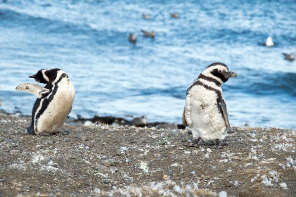 34 animales en peligro de extinción en Argentina - Pingüino de Magallanes (Spheniscus magellanicus)