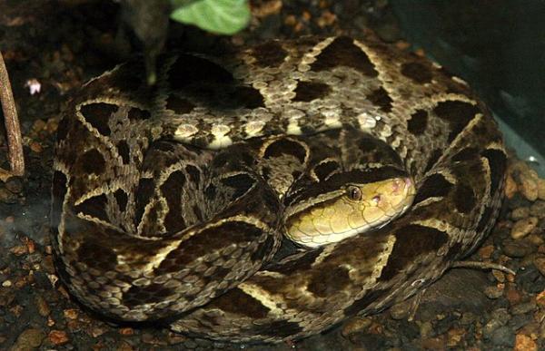 Animales de Costa Rica - Serpiente terciopelo