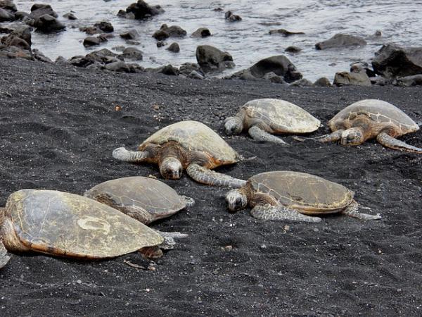 Animales de Costa Rica - Tortuga olivácea o golfina