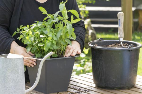 Cómo plantar menta