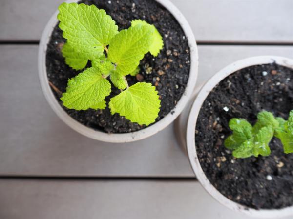 Cómo plantar menta - Cómo plantar menta en maceta