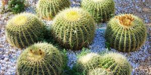 Cómo reproducir cactus por esquejes