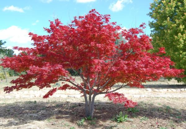 Árboles pequeños: nombres, características y fotos - Acer palmatum
