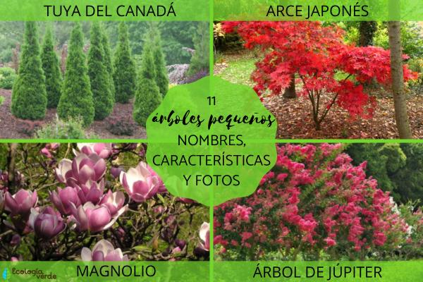 Árboles pequeños: nombres, características y fotos