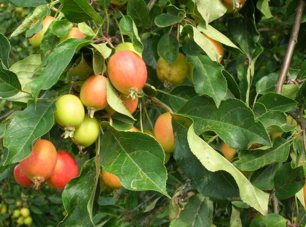 Árboles pequeños: nombres, características y fotos - Malus sylvestris