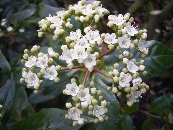 Plantas de invierno con flores para exterior - Durillo o laurel salvaje