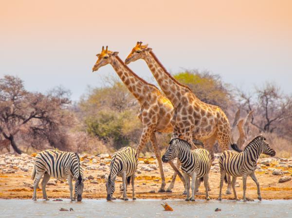 Por qué la jirafa está en peligro de extinción - Estado de conservación de la jirafa