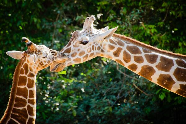 Por qué la jirafa está en peligro de extinción - Medidas de protección