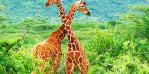Por qué la jirafa está en peligro de extinción