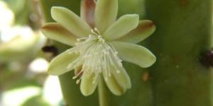 Flor de garambullo: qué es, para qué sirve e imágenes