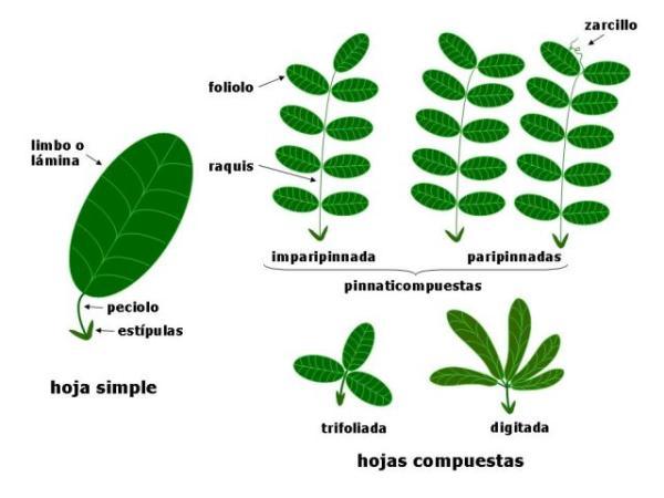 Tipos de hojas - Tipos de hojas según su nervadura