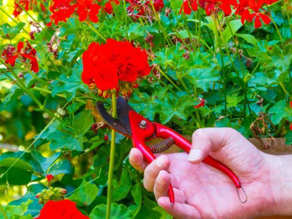 Cómo plantar esquejes de geranio - Cómo hacer esquejes de geranio