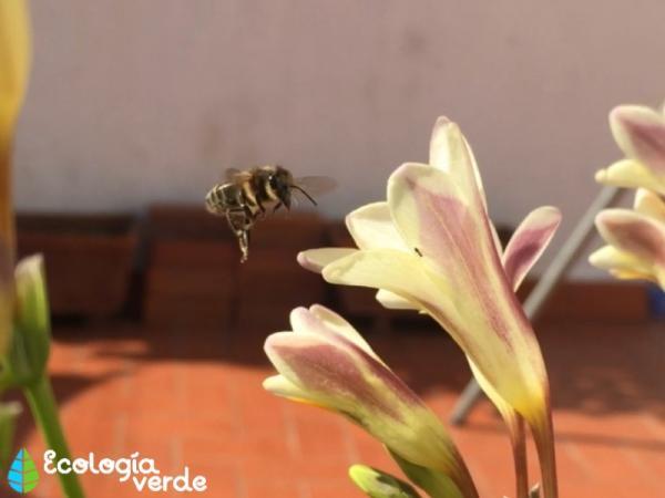 Por qué las abejas están en peligro de extinción - Cómo ayudar a las abejas en peligro de extinción