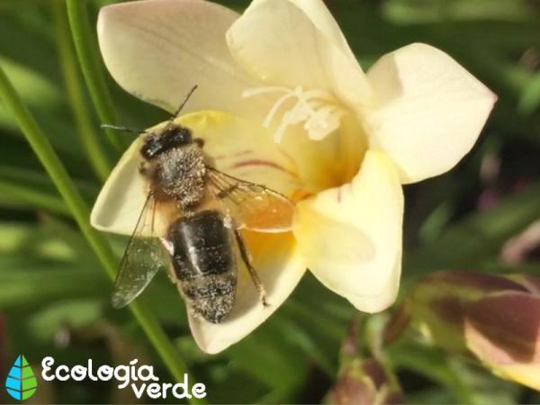 Por qué las abejas están en peligro de extinción