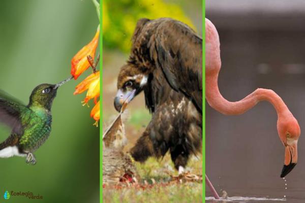 Clasificación de las aves - Clasificación de las aves según su alimentación