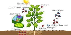 Fotosíntesis: qué es, proceso e importancia