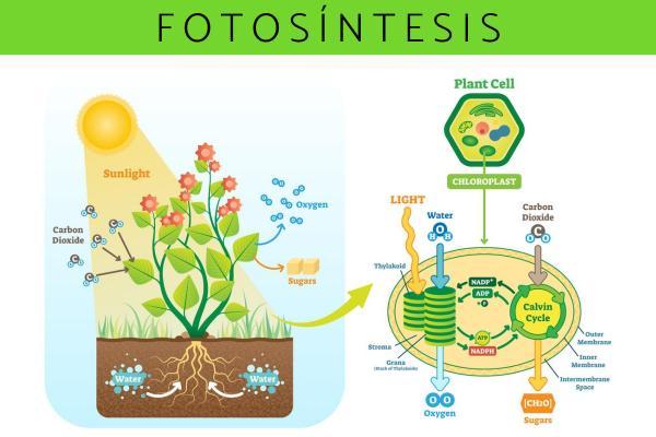 Fotosíntesis: qué es, proceso e importancia - Proceso de la fotosíntesis