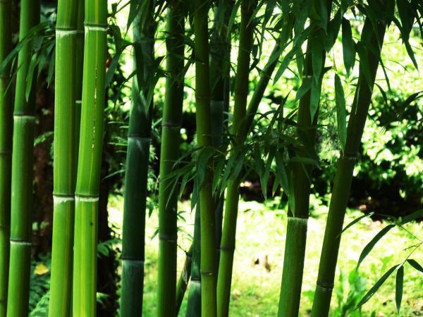 Plantas de exterior en maceta - El bambú