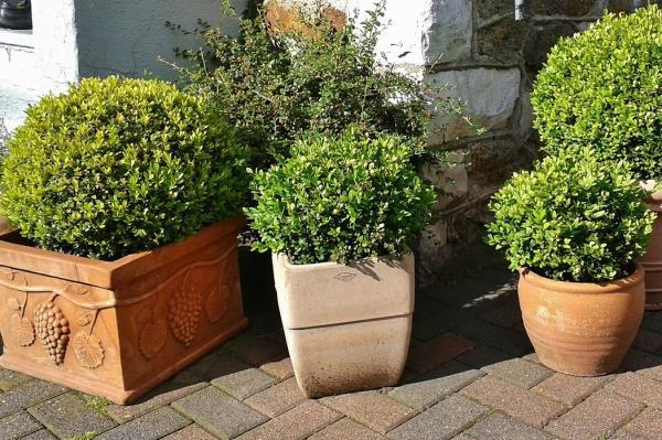 Plantas de exterior en maceta - El boj