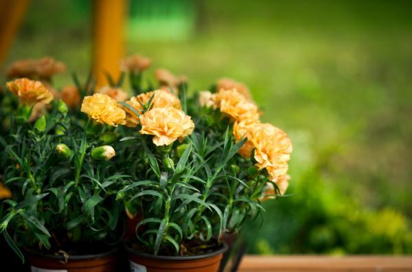 Plantas de exterior en maceta - El clavel