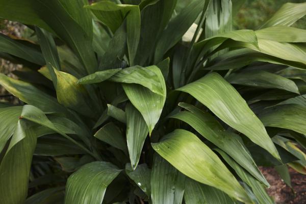 Plantas de exterior en maceta - La aspidistra