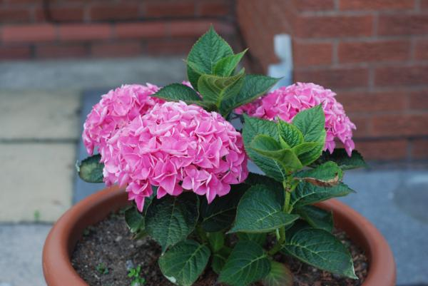 Plantas de exterior en maceta - La hortensia