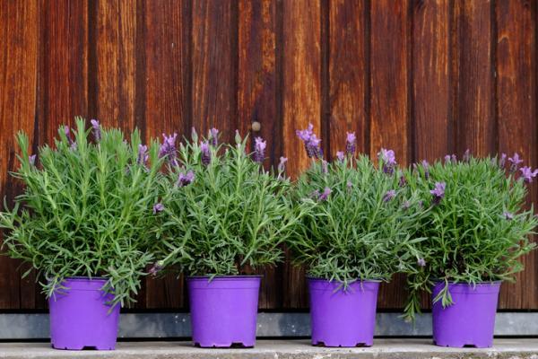 Plantas de exterior en maceta - La lavanda