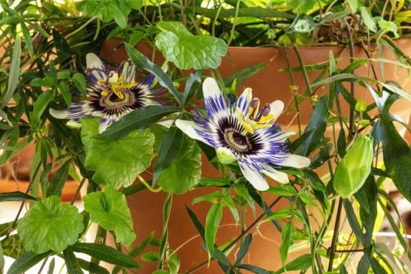 Plantas de exterior en maceta - La pasiflora