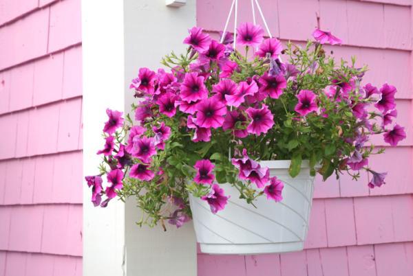 Plantas de exterior en maceta - La petunia