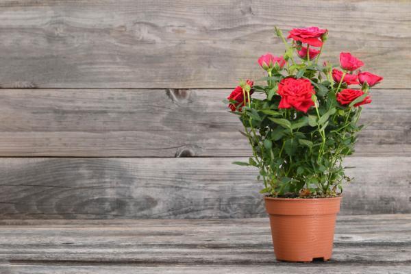 Plantas de exterior en maceta - La rosa