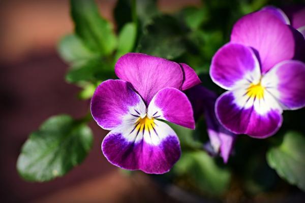 Plantas de exterior en maceta - Los pensamientos