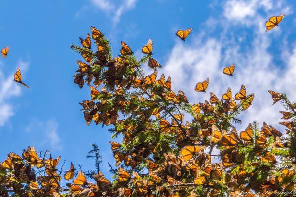 Por qué está en peligro de extinción la mariposa monarca - Características de la mariposa monarca