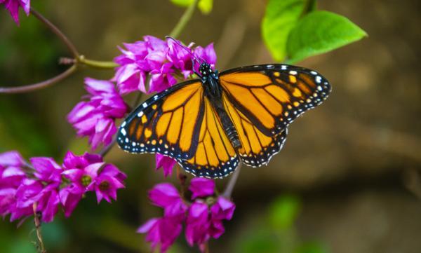 Por qué está en peligro de extinción la mariposa monarca