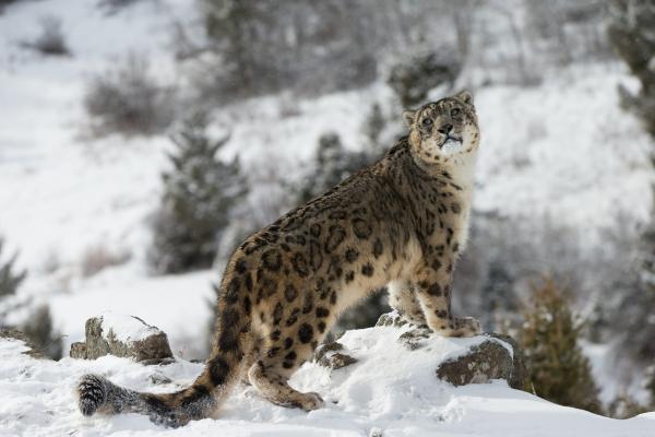 Animales en peligro de extinción por el cambio climático - Leopardo de las nieves