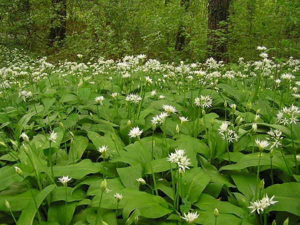 Flores silvestres: nombres y fotos - Allium ursinum o ajo de oso