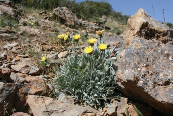 Flores silvestres: nombres y fotos - Andryala agardhii o ajonje de montaña