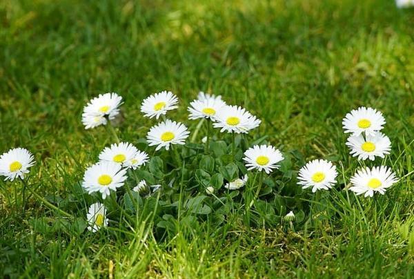 Flores silvestres: nombres y fotos - Bellis perennis o margarita