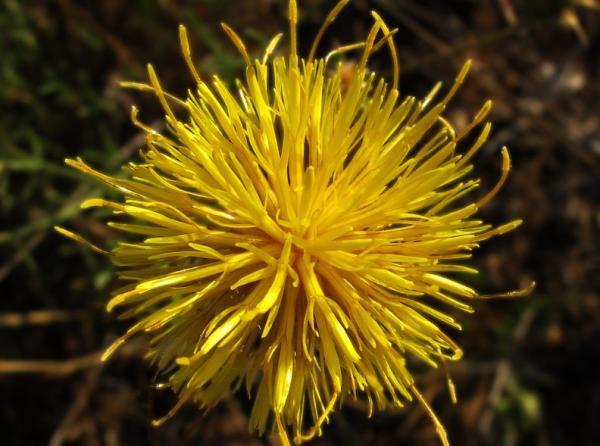 Flores silvestres: nombres y fotos - Centaurea ornata o abrepuños