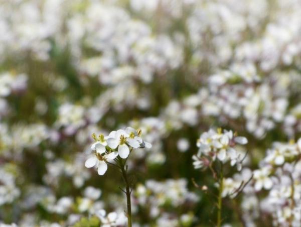 Flores silvestres: nombres y fotos - Diplotaxis erucoides o jaramago blanco