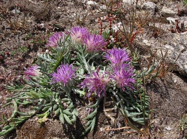 Flores silvestres: nombres y fotos - Jurinea humilis o arzolla de roca