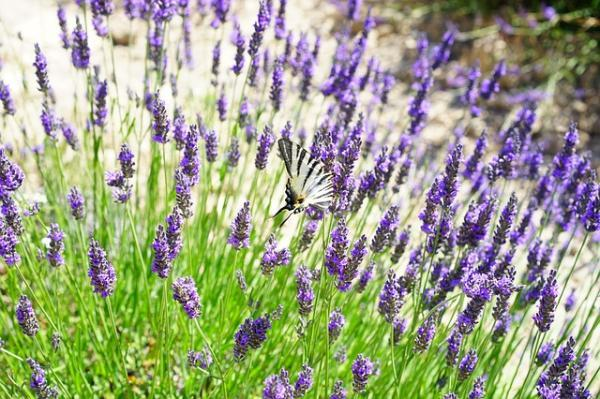 Flores silvestres: nombres y fotos - Lavandula officinalis o lavanda