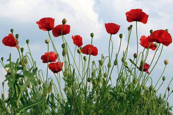Flores silvestres: nombres y fotos - Papaver rhoea o amapola silvestre