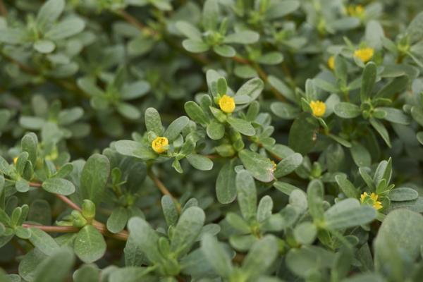 Flores silvestres: nombres y fotos - Portulaca oleracea o verdolaga