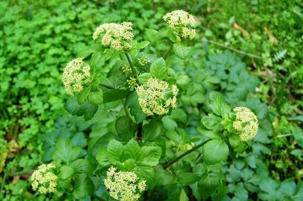 Flores silvestres: nombres y fotos - Smyrnium olusatrum o apio caballar