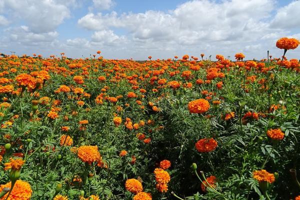 Flores silvestres: nombres y fotos - Tagetes erecta o flor de Cempasúchil