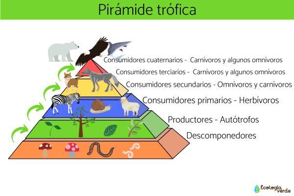 Consumidores cuaternarios: qué son y ejemplos - Qué son los consumidores primarios, secundarios, terciarios y cuaternarios