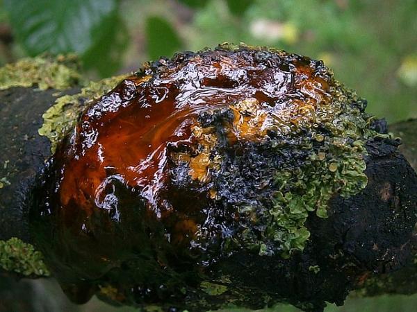 Gomosis: qué es y tratamiento - Qué es la gomosis - un síntoma de problemas en los árboles